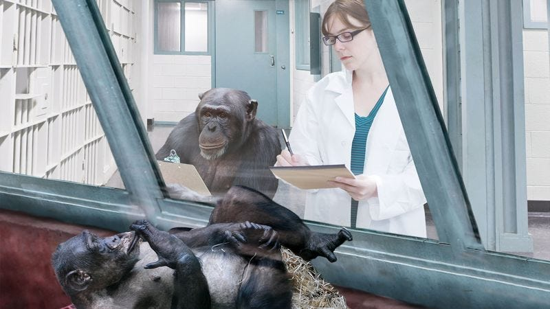 Mokoko, a female chimpanzee, is now able to analyze in-depth data charts on chimpanzee behavior.