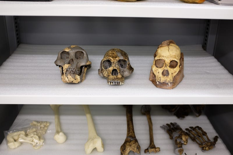 Fossil casts of Australopithecus afarensis (left), Homo habilis (center), and Australopithecus sediba (right).