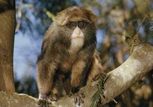 Illustration for article titled Adorable Bearded Monkeys Discovered in East Africa