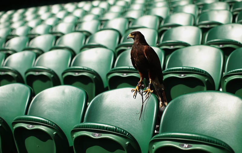 Illustration for article titled Rufus The Pigeon-Scaring Hawk At Wimbledon Has Gone Missing, Foul Play Suspected