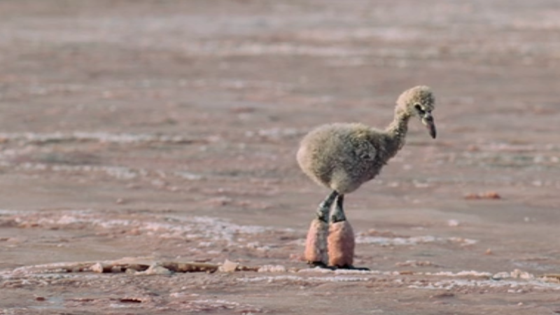 The baby flamingo that will haunt my dreams.