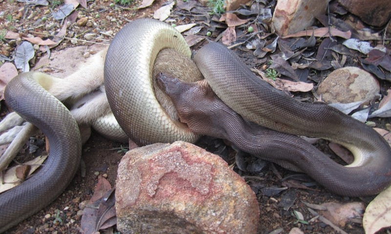 Illustration for article titled Incredible Images Show A Python Devouring An Entire Wallaby