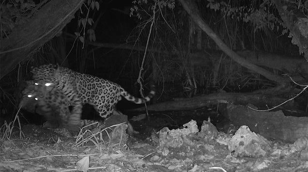 Unprecedented Camera Trap Footage Shows a Jaguar Capturing an Ocelot