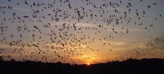 Illustration for article titled Descubren que los murciélagos usan su sonar para interferir el de otros