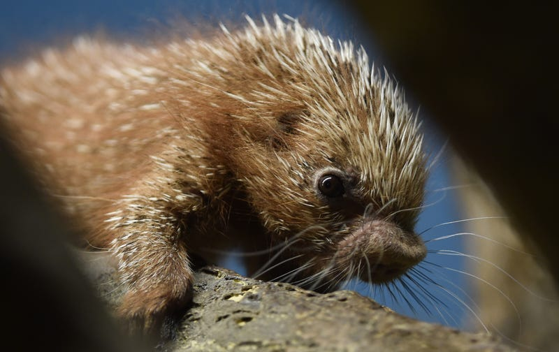 Photo: AP, this baby porcupine lives in Frankfurt, Germany.