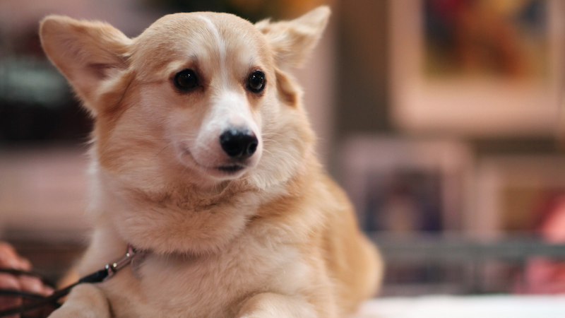 Illustration for article titled Boston Woman on Craigslist Really Needs Six Corgis for Her Wedding