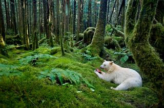 Illustration for article titled Fantasztikus képeken Kanada lidércmedvéi