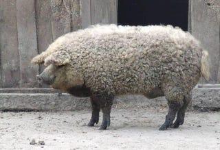 Illustration for article titled Sheep-pig