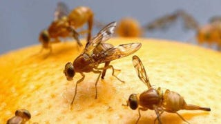 Illustration for article titled Fruit flies on meth