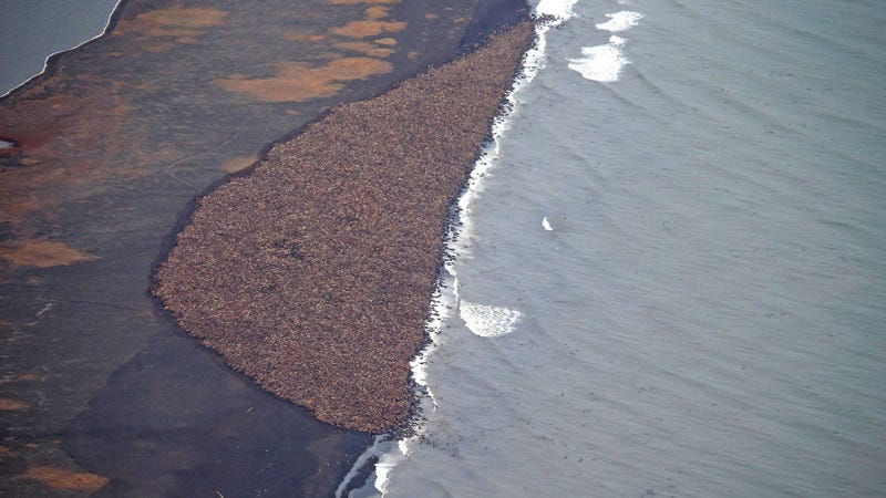 Illustration for article titled Massive Congregation Of 35,000 Walruses Linked To Climate Change