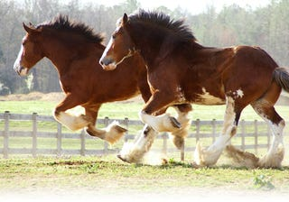 Illustration for article titled My current stable is like a stable of clydesdales