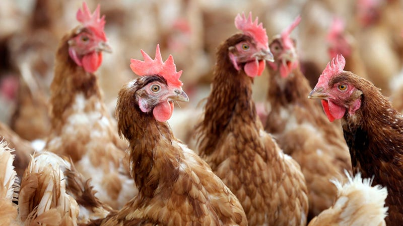 USDA to rescind Organic Livestock and Poultry Practice rule