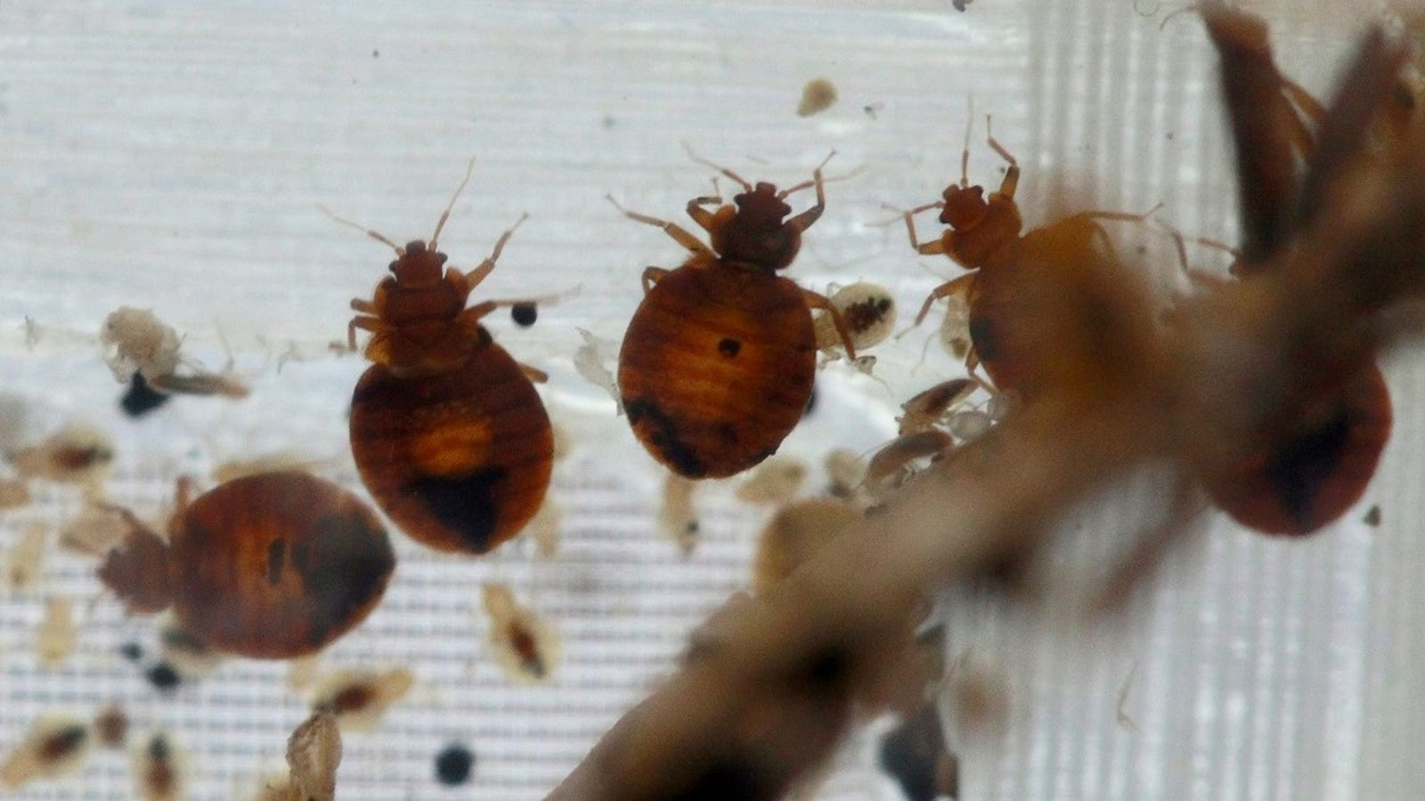 Bed Bug Insecticides Causing Sickness, Officials Warn photo