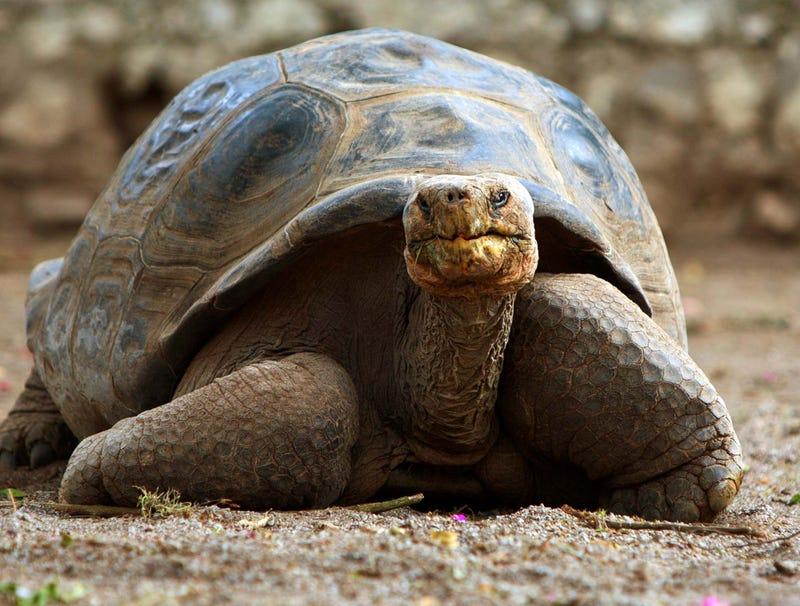 Illustration for article titled Last Civil War Tortoise Dies