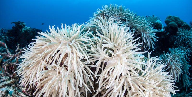 Illustration for article titled Miles de corales en todo el mundo se tornan blancos y pueden morir en meses