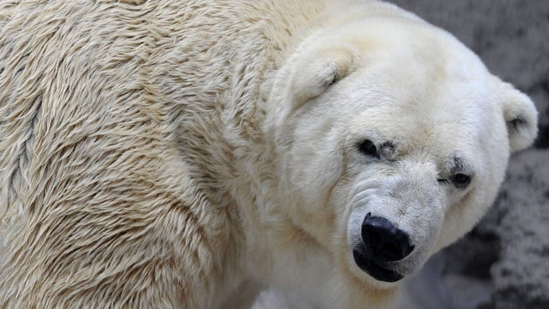 Illustration for article titled Protesters Want 'World's Saddest Polar Bear' Moved From Argentina Zoo