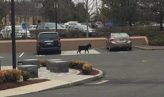 Illustration for article titled Goat Takes Unapproved Tour Of ESPN's Campus, Gets Caught