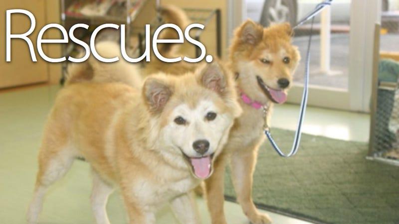 Illustration for article titled Animal Lovers Raid Fukushima to Save Radioactive Dogs