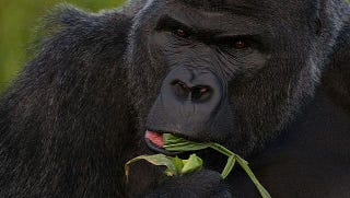 Illustration for article titled Are gorillas left-handed or right-handed?