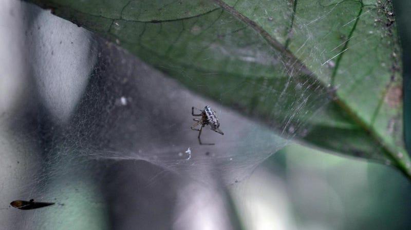 An Anelosimus eximius spider.