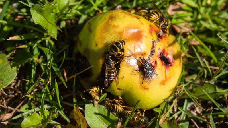 Illustration for article titled Rotten fruit is making wasps drunk and angrier