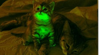 Illustration for article titled Glow-In-The-Dark Kittens Will Fight AIDS And Save The World