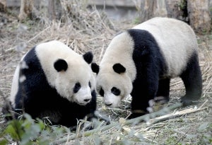 """Illustration for article titled China Sends Goodwill Pandas To Taiwan • """"Meat Curtains"""" And Other Weird Ladyparts Slang"""