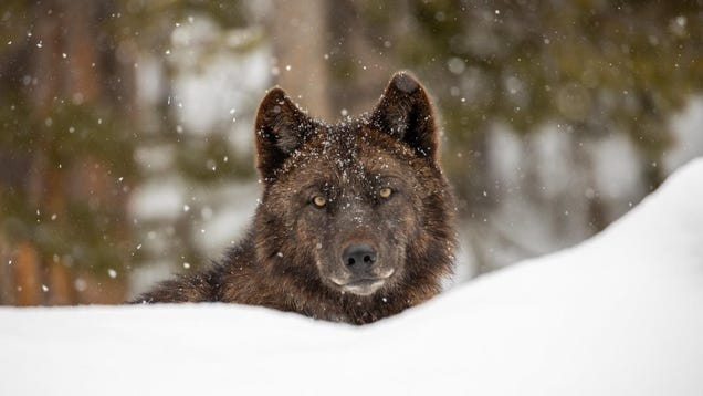 Montana and Idaho Have Legalized Killing Wolves on a Massive Scale