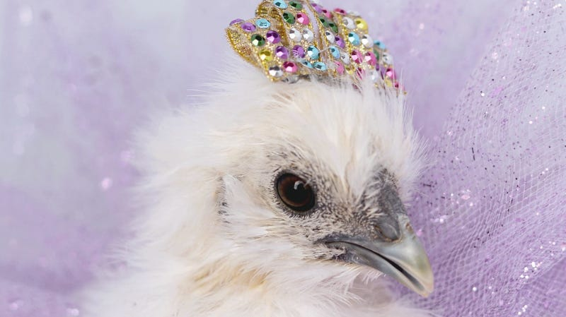 Illustration for article titled We never said you shouldn't dress chickens up for Halloween, CDC clarifies