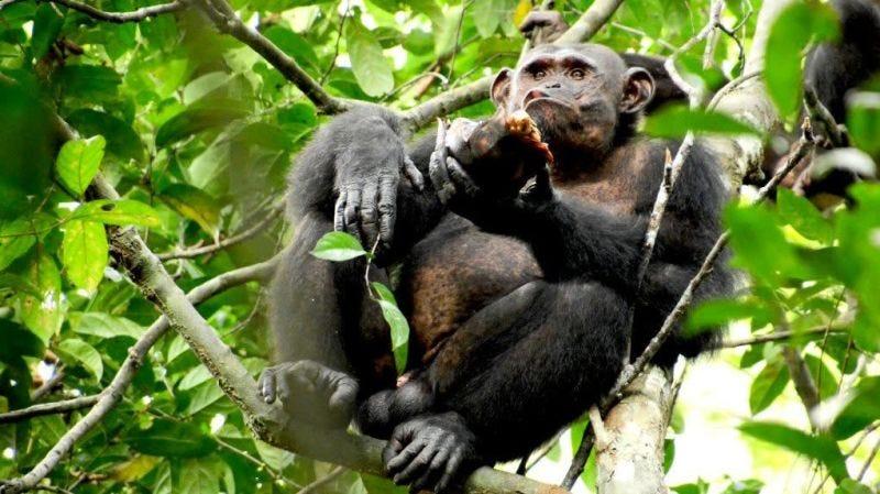 Illustration for article titled ¿Qué hace un chimpancé para comerse una tortuga? Aplastarla como si fuera un coco
