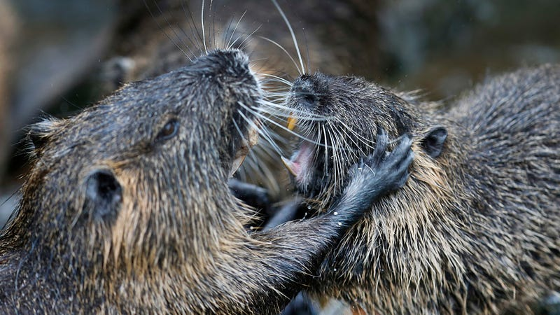 Illustration for article titled Is the Nutria, an Invasive Rodent Plaguing Wetlands, Cute or Not?