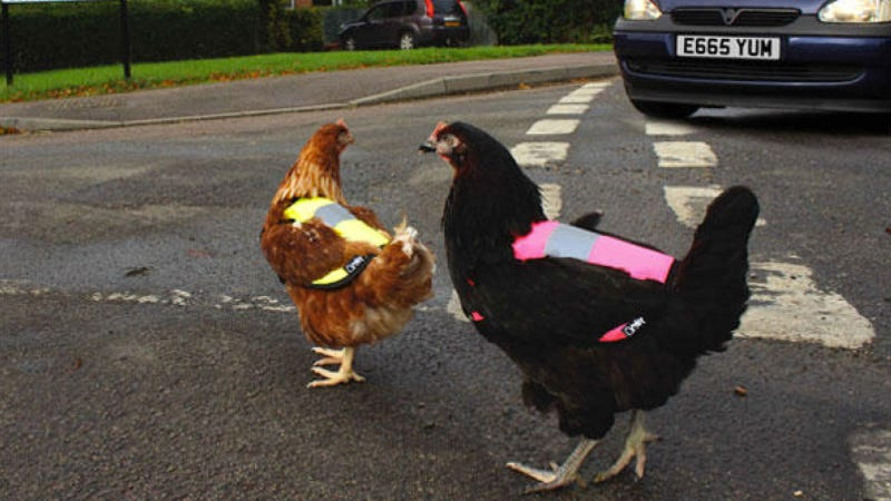 Illustration for article titled High Visibility Road Vests For Chickens Now Exist