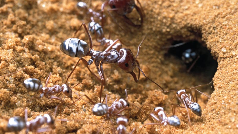 The Saharan silver ant. Image: Quentin Willot et al., 2016/PLOS One