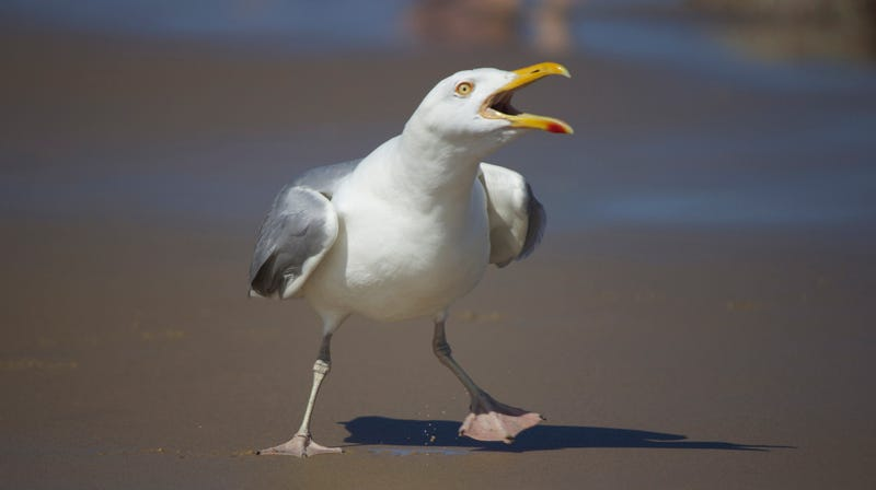 Illustration for article titled Man unfairly fined $124 after kicking asshole seagull who went for his cheeseburger