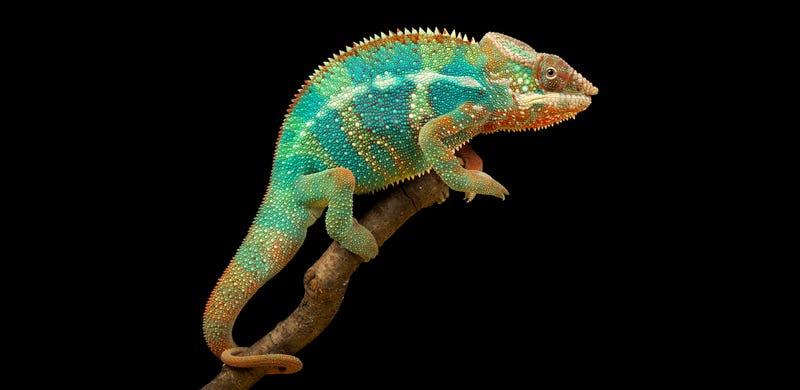 Descubren un nuevo mecanismo de los camaleones para cambiar de color