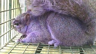 Illustration for article titled Purple squirrel running rampant through Pennsylvania