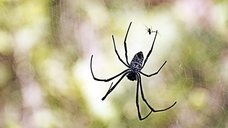 Illustration for article titled Clever Female Spiders Use 'Mating Plugs' to Thwart Unwanted Sex