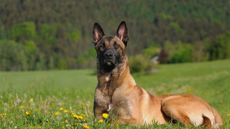 Illustration for article titled Heroic Secret Service Dog Dies in Line of Duty
