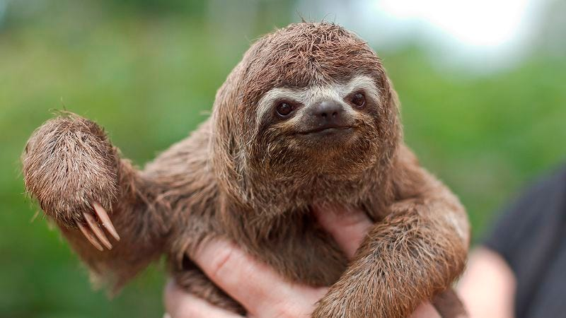 Illustration for article titled 7 Sloths Who Are Almost Too Adorable To Throw Off The Top Of The Chrysler Building