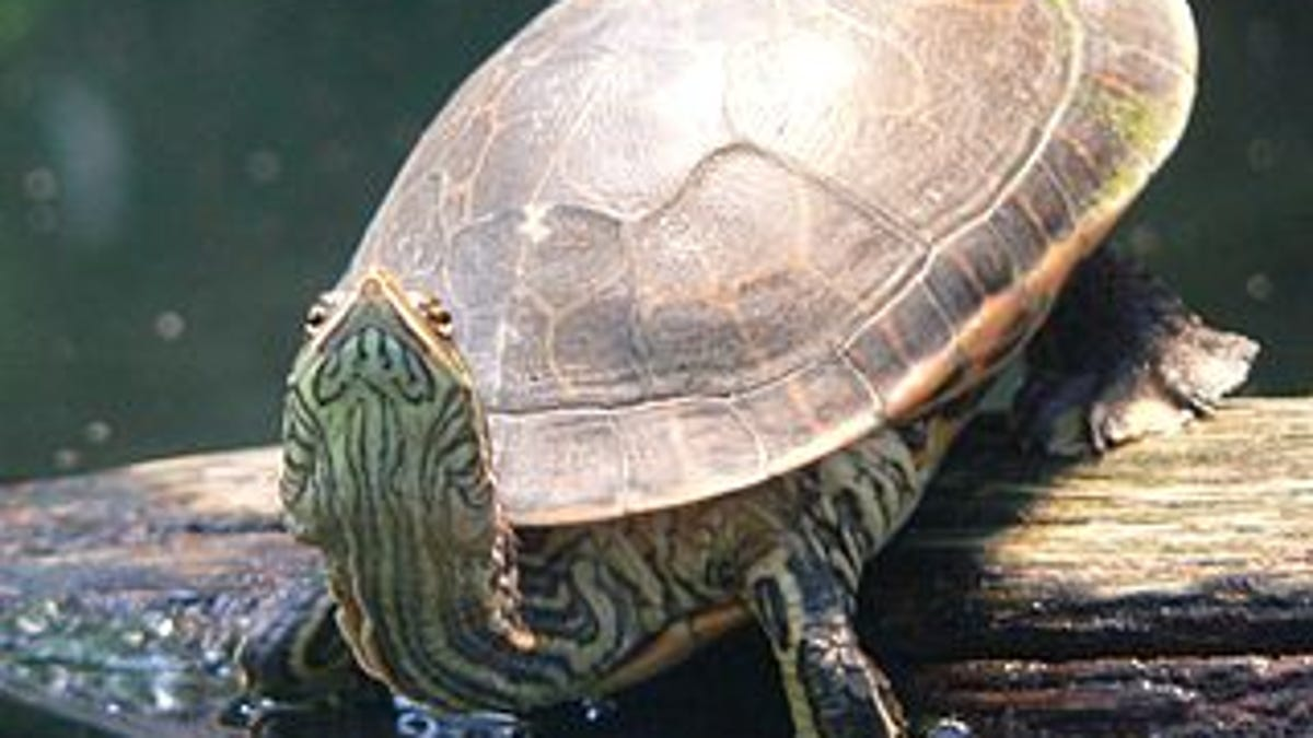 Why Do Some Turtles Have the Option To Breathe Through Their