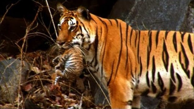 male tiger cub names for girls