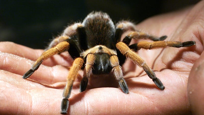 Horny Tarantulas Are About to Have a Fuckathon in California Fish Tacos
