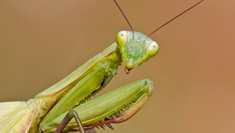 Illustration for article titled Praying Mantis Hesitantly Agrees To Try Girlfriend's Sexual Fantasy Of Eating His Head During Intercourse