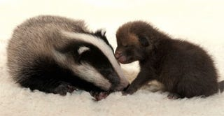 Illustration for article titled Baby Fox. Baby Badger. Discuss.