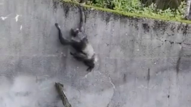 Chimps Use Branch as  Ladder  in BoldAttempt at Escape From Belfast Zoo Enclosure