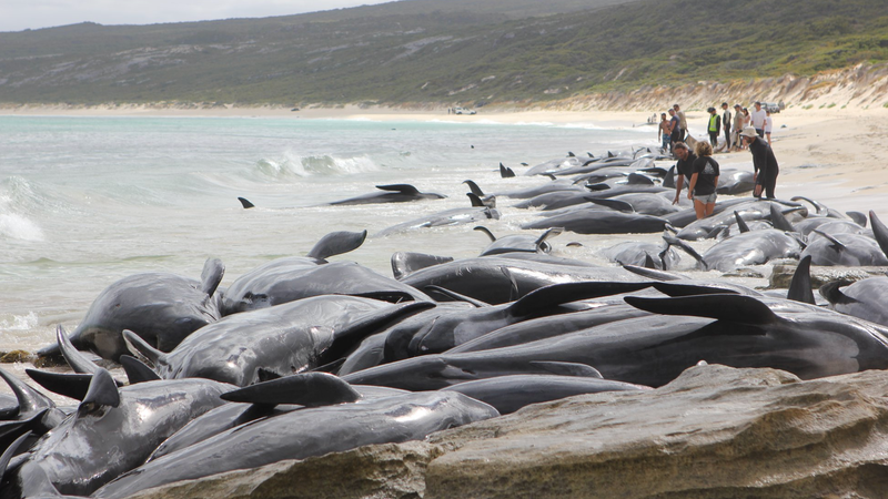 More than 140 pilot whales have died following a mass stranding in Australia.