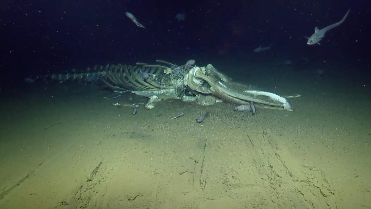gizmodo.com - George Dvorsky - Watch Deep Sea Creatures Feast on a Whale Carcass