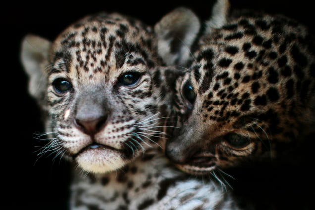 Scientists Want to Bring Jaguars Back to America s Mountains