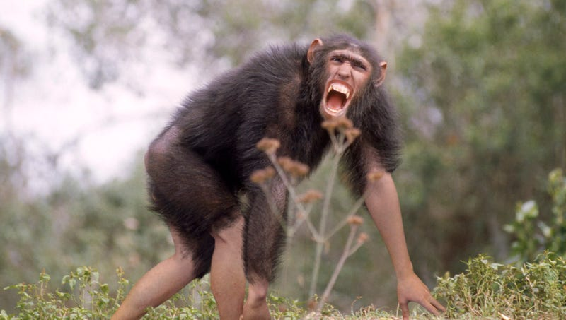 Illustration for article titled Evolution Definitively Proven As Scientists Capture First-Ever Footage Of Chimpanzee Transforming Into Human