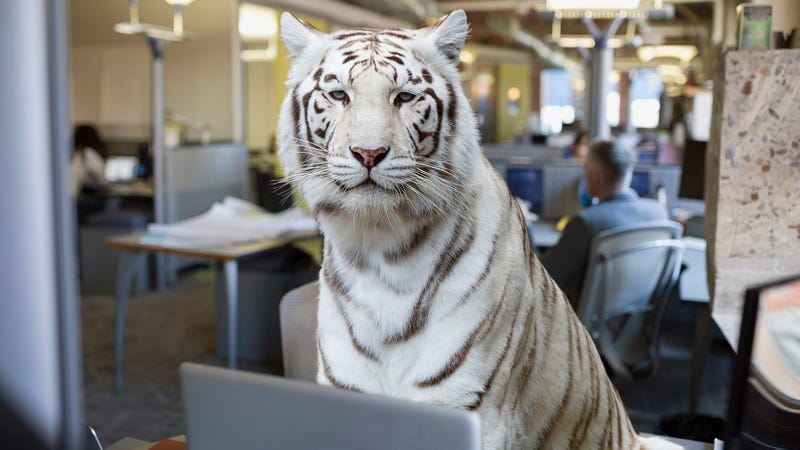 Company Commits To Hiring More Bengal Tigers In Effort To ...